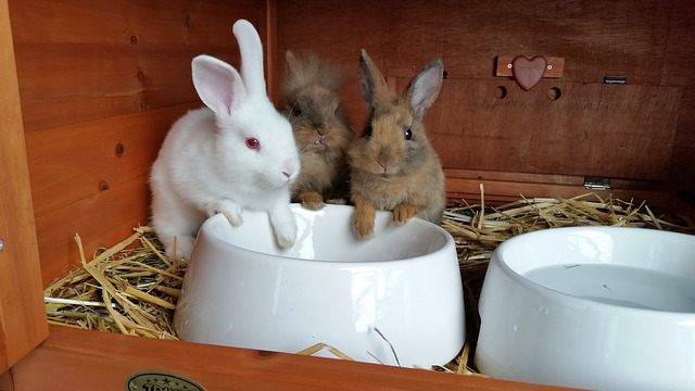 domácí králíci