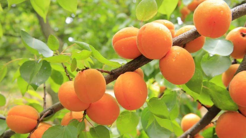 větev s meruňkami